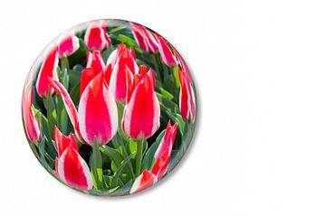 Rot mit weiße Tulpen in Glaskugel auf dem Keukenhof in Holland sur Ben Schonewille