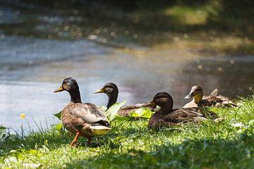 Entenfamilie am Teich von Rolf Pötsch