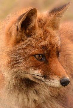 Portret van een vos van Marjolein van Middelkoop
