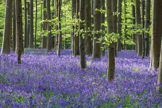 Wilde hyacinten in het Hallerbos van Bart van Dinten