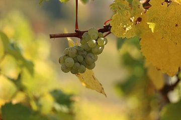 Wijnstok witte druif uit de druivengaard in Saarburg (Duitsland) van