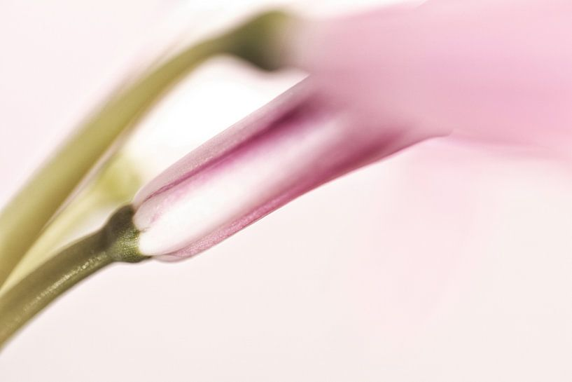 Roze nerine bloem deels in knop van Tot Kijk Fotografie: natuur aan de muur