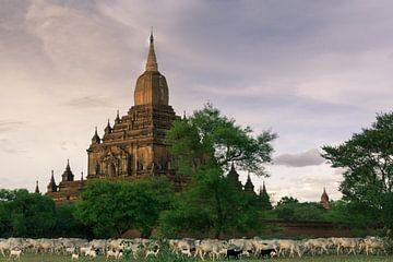 Herder met zijn kudde voor tempel van Koen Boelrijk Photography