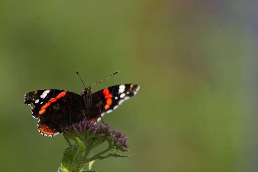 Atalanta vlinder van Jeroen Meeuwsen