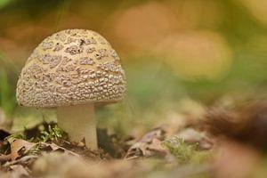 Parelamaniet in herfst bos van Stefan Wiebing Photography
