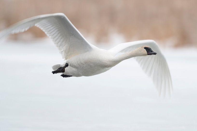 Trumpeter Swan ( Cygnus buccinator ) in winter, in flight, flying above a frozen river, over snow, G van wunderbare Erde