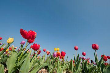 Buntes Blumenzwiebelfeld in Holland von Ivonne Wierink