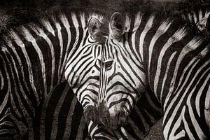 Zebra liefde