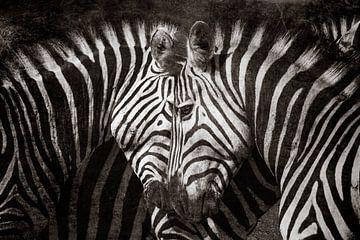 Zebra liefde van De Afrika Specialist