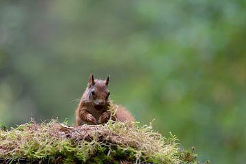 Eekhoorn met walnoot van Anjella Buckens