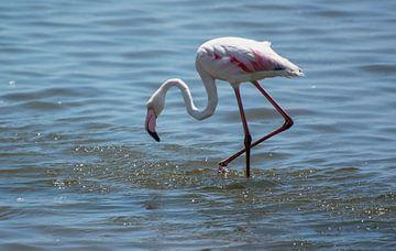 Naar voedsel zoekende flamingo van Rietje Bulthuis