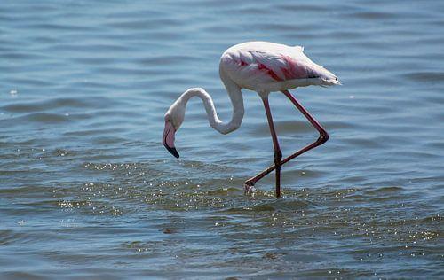 Naar voedsel zoekende flamingo