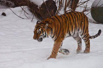 De machtige Amoertijger gaat in diepe witte sneeuw, de natuur van het Russische Verre Oosten en Chin van Michael Semenov