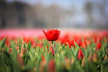 Rode tulpen van Kim van der Plas