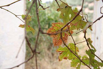 Herbst-Traubenblatt von jan katuin