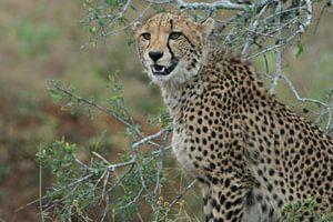 Jachtluipaard in Zuid-Afrika