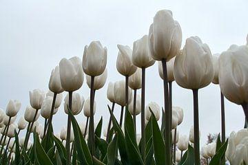 Witte tulpen tegen lichte lucht von Ad Jekel