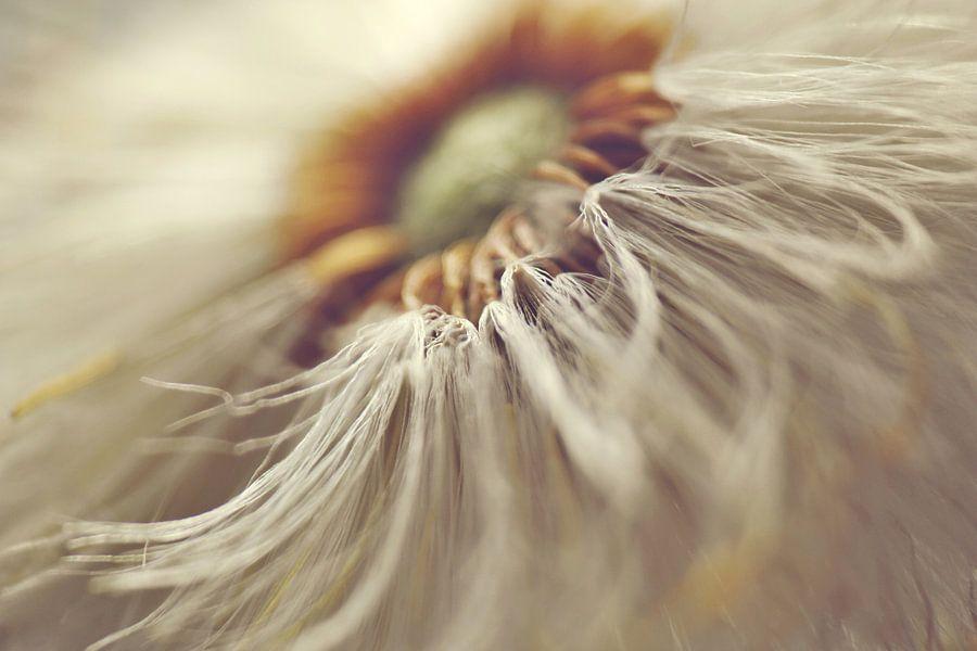 Paardebloem close-up