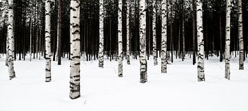Birkenwald von Denis Feiner