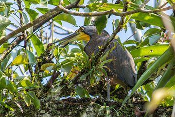 Tropischer Vogel in Guatemala von Joost Winkens