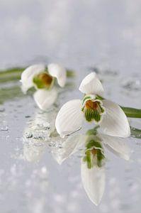 Sneeuwklokjes (Galanthus nivalis) van