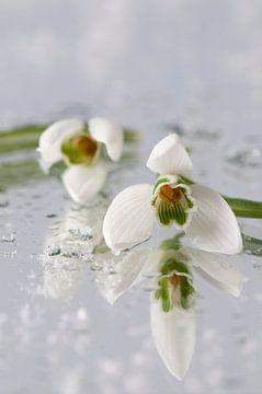 Sneeuwklokjes (Galanthus nivalis) van Tamara Witjes
