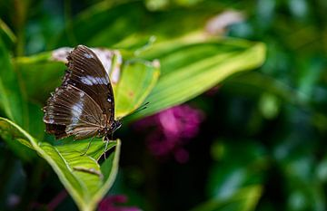 Schmetterling auf Blatt von Juliette Laurant