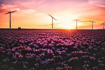 Tulpen en Windmolens