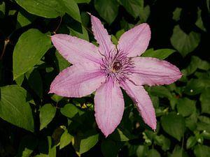 Een groot bloemige roze/paars bloeiende clematis. van Wim vd Neut