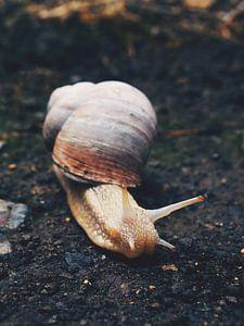 Escargot romain 1
