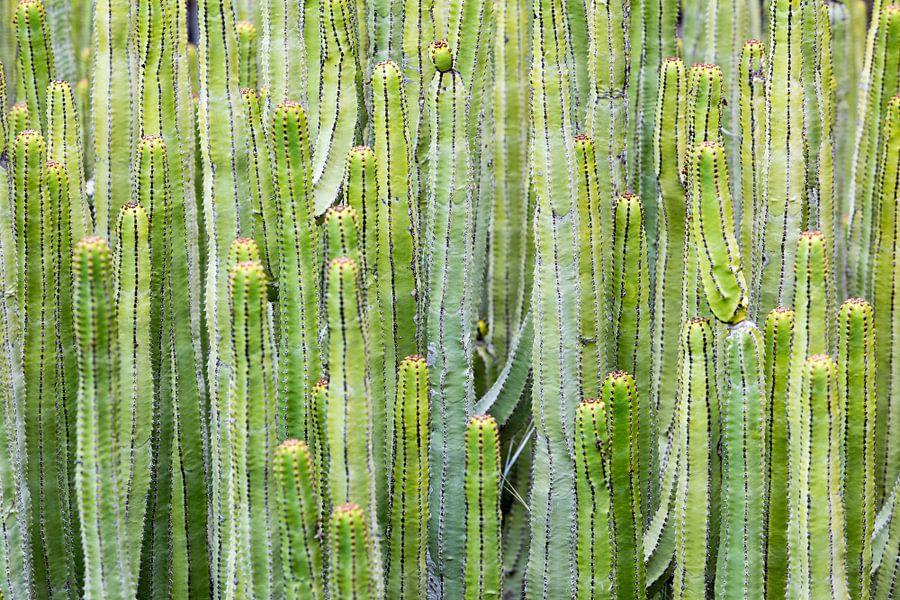 Cactus van Klaas Boonstra