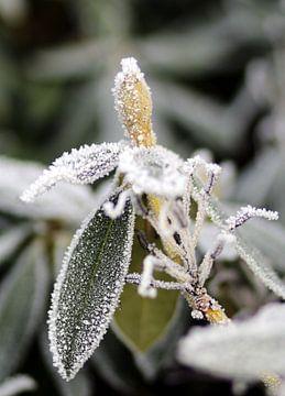 Bloem in de knop in de winter von Corry Husada-Ghesquiere