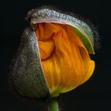 oranje klaproos van Bert Bouwmeester