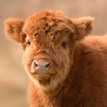 Bezauberndes schottisches Highlander-Baby von Latifa - Natuurfotografie
