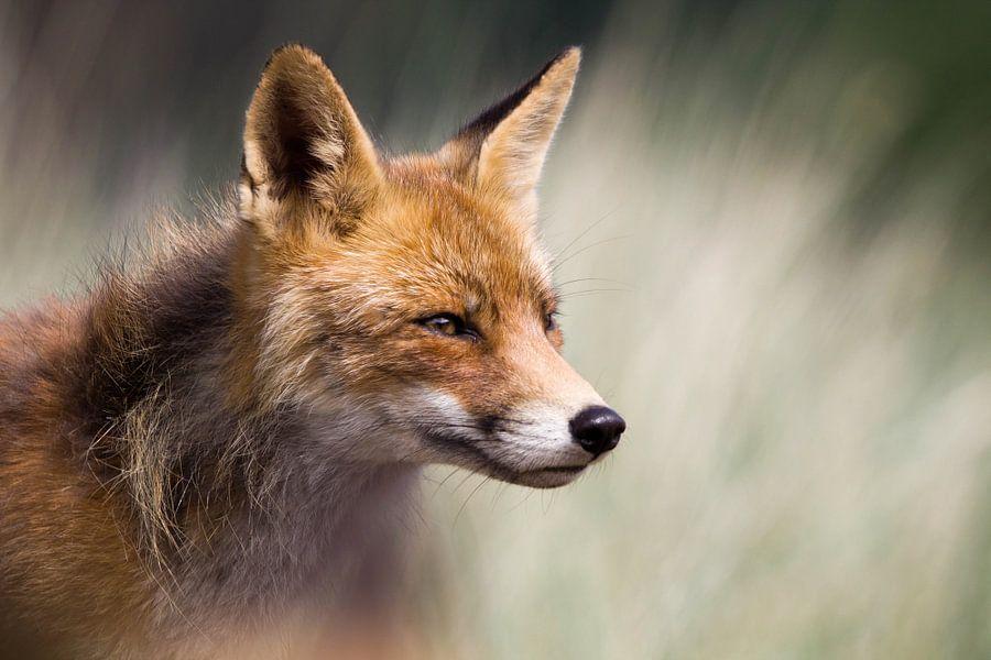 Portret van een vos van Lars Korzelius