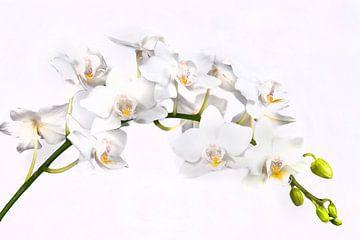 Witte orchidee van Egon Zitter