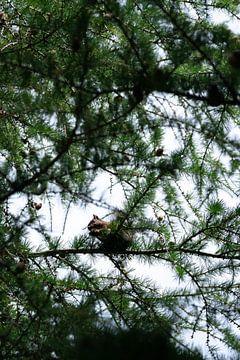Eichhörnchen auf dem Baum von Robin van Steen