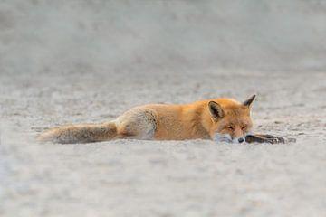 Schlafender Fuchs von Anna Stelloo