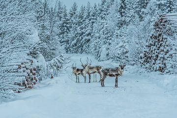Rendieren aan de rand van een bos in Lapland van Bas Fransen