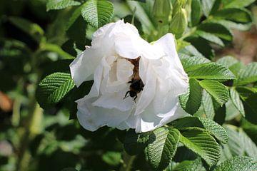 Witte roos met bij van Photographico Magnifico