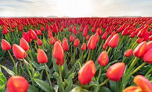 A Dutch early morning field of Orange Tulips