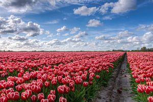 Bollenveld vol Tulpen in Groningen