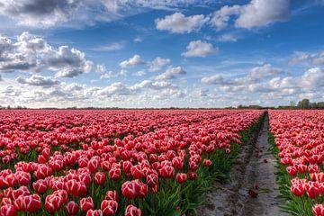 Bollenveld vol Tulpen in Groningen van