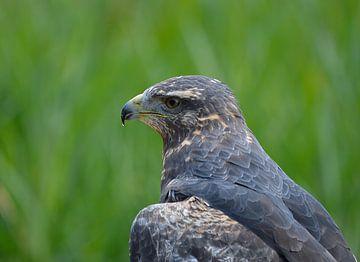 Portret van een roofvogel van Wendy Tellier - Vastenhouw