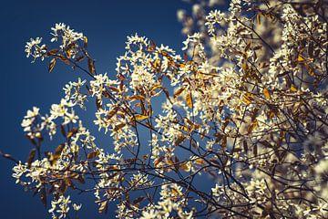 Bloesems wit 06 van FotoDennis.com