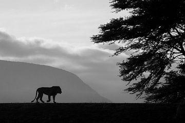 Leeuw in tegenlicht (zwart-wit) van Arjen Heeres