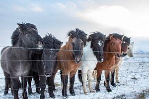 IJslandse pony's van Eddy Reynecke