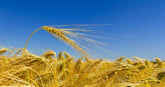 Graanveld op een stralende dag! van Koos de Wit