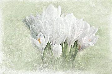 Weiße Krokusse van
