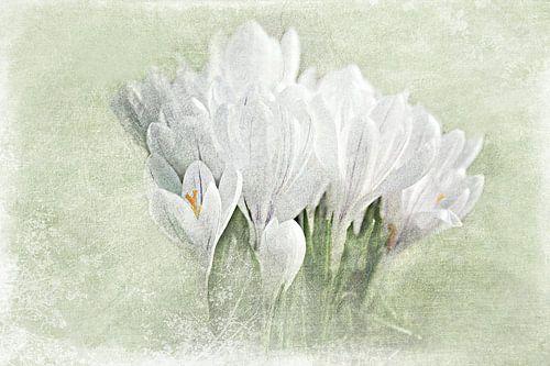 Weiße Krokusse van Heike Hultsch